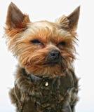 De terriër van puppyyorkshire Royalty-vrije Stock Foto's
