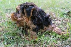 De terriër van puppyyorkshire Royalty-vrije Stock Afbeeldingen