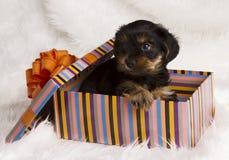 De terriër van puppyyorkshire in een giftdoos Stock Afbeeldingen