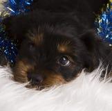 De terriër van puppyyorkshire in studioclose-up Royalty-vrije Stock Afbeelding