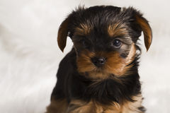 De terriër van puppyyorkshire in studioclose-up Stock Foto's