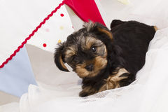 De terriër van puppyyorkshire in studioclose-up Royalty-vrije Stock Foto's