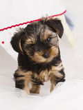De terriër van puppyyorkshire in studioclose-up Royalty-vrije Stock Foto