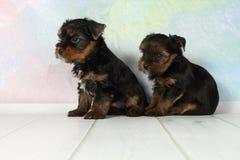 De terriër van twee puppyYorkshire Royalty-vrije Stock Fotografie