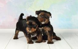 De terriër van twee puppyYorkshire Royalty-vrije Stock Foto