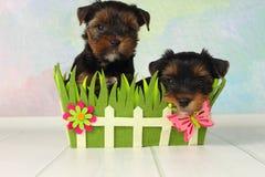 De terriër van twee puppyYorkshire Stock Afbeelding