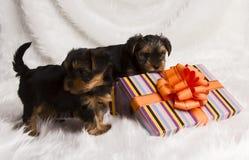 De terriër van twee puppyyorkshire in een giftdoos Stock Afbeeldingen