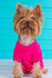 De terriër van Yorkshire in een roze overhemd op achtergrond Royalty-vrije Stock Afbeelding