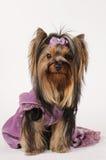 De terriër van Yorkshire op purpere fluweelkleding Stock Fotografie