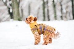 De terriër van Yorkshire in sneeuwwearin Stock Afbeeldingen