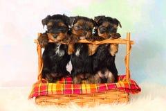 De Terriër van Yorkshire van drie puppy Stock Afbeeldingen