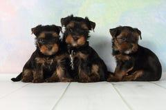 De Terriër van Yorkshire van drie puppy Royalty-vrije Stock Afbeeldingen
