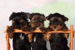 De Terriër van Yorkshire van drie puppy Royalty-vrije Stock Afbeelding