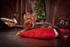 De terriërhond van Yorkshire, nieuw jaar, Kerstmis Stock Foto