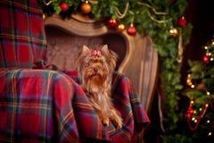 De terriërhond van Yorkshire, nieuw jaar, Kerstmis Royalty-vrije Stock Foto