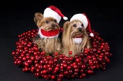 De terriërhonden van Yorkshire van Kerstmis Royalty-vrije Stock Foto