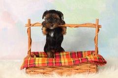 De terriërPuppy van Yorkshire Royalty-vrije Stock Fotografie