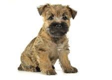 De terriërzitting van de puppysteenhoop op de vloer Royalty-vrije Stock Foto