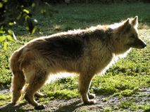 De teruggetrokken Hond van de Wacht Royalty-vrije Stock Afbeelding