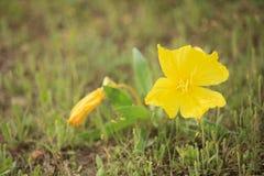 De Teunisbloemen van Missouri Royalty-vrije Stock Foto's