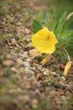 De Teunisbloemen van Missouri Stock Afbeelding