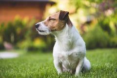 De tevreden Jack Russell-zitting van de terriërhond op het groene gazon van de graszomer Royalty-vrije Stock Fotografie