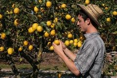 De tevreden vruchten van het landbouwershorloge van een citroenboom Royalty-vrije Stock Foto's