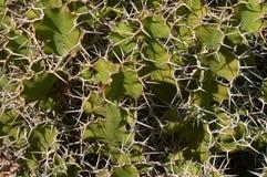 De textuur/de achtergrond van de cactus. Sommige soorten vijgencactus Royalty-vrije Stock Fotografie