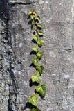 De textuur van de boomschors van Fagus-sylvatica of Europese beuk met klimop stock foto's
