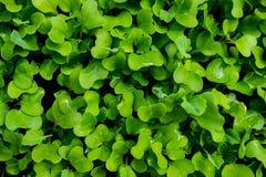 De Textuur van broccolibladeren Royalty-vrije Stock Afbeeldingen