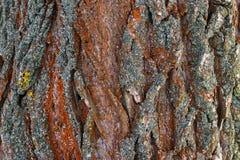 De textuur van de boomschors Stock Afbeeldingen