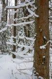 De textuur van de boomstam van de sparren Stock Afbeeldingen