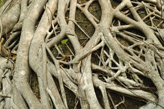 De textuur van de boomwortel Stock Foto