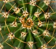De textuur van de cactus Stock Foto's