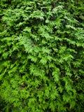 De textuur van de ceder stock fotografie