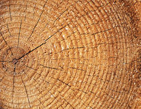 De textuur van de de boombesnoeiing van de pijnboom Stock Foto