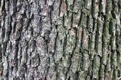 De textuur van de espboom Stock Foto's