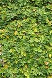 De Textuur van de Muur van bladeren Royalty-vrije Stock Afbeeldingen