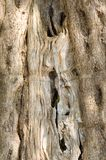 De textuur van de olijfboom Stock Foto
