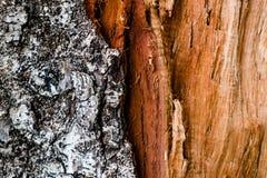 De textuur van de schorsbarst op achtergrond Stock Afbeeldingen