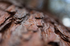 De textuur van de van de achtergrond pijnboomschors de esdoornsparren oude oude pijnboomceder Stock Foto