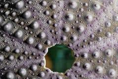De textuur van de zeeëgel Stock Foto's