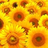 De textuur van de zonnebloem Stock Foto