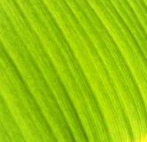 De textuur van het banaanblad Stock Afbeeldingen