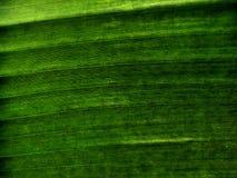 De textuur van het banaanblad stock fotografie