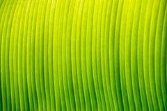 De textuur van het banaanblad Royalty-vrije Stock Afbeelding