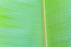 De textuur van het banaanblad Stock Foto's