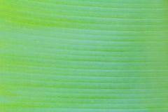 De textuur van het banaanblad Stock Foto