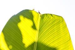 De textuur van het banaanblad Stock Afbeelding
