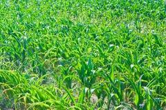 De textuur van het graan stock afbeelding